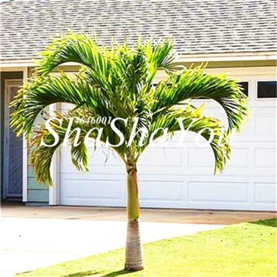 Kasuki Hot Sales! 10 Pcs Rare Cycas Bonsai Sago Palm Tree Potted Plants Flower The Budding Rate 97% Rare Potted Plant for Home Garden - (Color: 2)