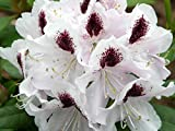 Rhododendron Calsap #7 Container Size Plant - Rhododendron of the Year!