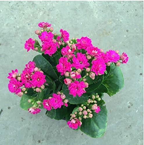 Bloom Green Co. Kalanchoe Bonsai Longevidad Flor Plantas en maceta Plantar estaciones Plantas con flores Plantas para jardín Fácil de cultivar 100 PCS: 3: Amazon.es: Jardín