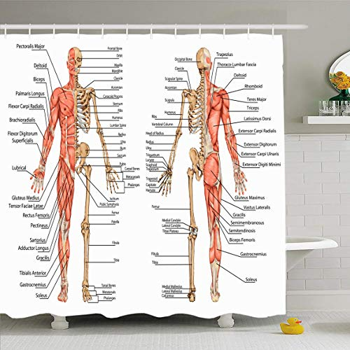 Ahawoso Shower Curtain 72x78 Inches Hand Muscle Human Skeleton Posterior Anterior View Bone Didactic Anatomy Science System Muscular Waterproof Polyester Fabric Bathroom Curtains Set with Hooks
