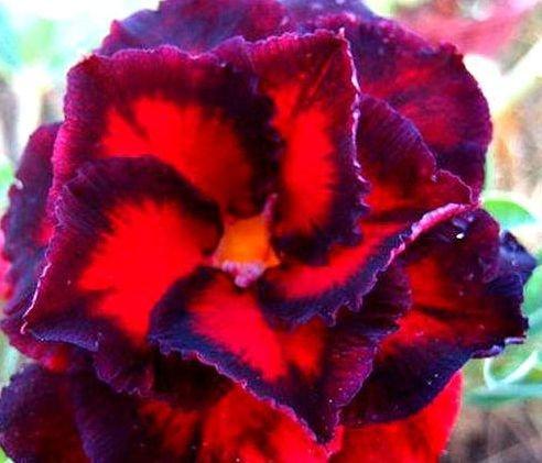 Adenium obesum Black Bird - Karoo rose - desert rose - impala lily - 3 seeds
