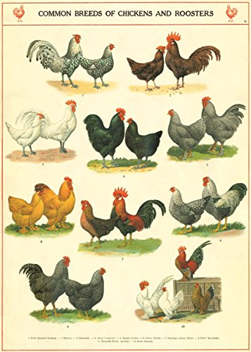 Chickens Paper (Cavallini & Co. Chickens and Roosters Poster Wrapping Paper Sheet)