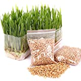 LOadSEcr's Garden 400 Pcs/Bag Cat Grass Seed Antioxidant Pets Non-GMO Ornamental Plants Yard Office Decoration, Open Pollinated Seeds