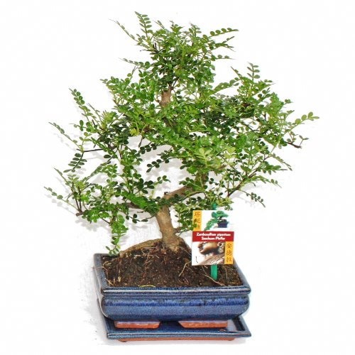 bonsai Szechuan-Pfeffer - Zanthoxylum piperitum - ca. 8 Jahre