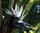 "White Bird of Paradise Plant - Strelitzia - 6"" Pot"