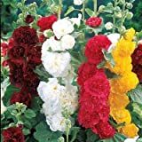 Cicitar Garden- Rare Hollyhock Chaters Double Triumph Mix Heirloom Alcea rosea, Showy, Ruffled, Carnation-Like Blooms, Easy to Grow, Exotic Flower Seeds Hardy Perennial