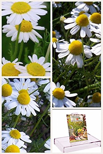 Homegrown Packet Chamomile Seeds, Bulk Seeds, Organic Chamomile German (1100)