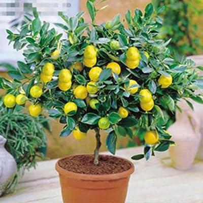 10Pcs Rare Lemon Tree Indoor Outdoor Available Heirloom Fruit Seeds Love Garden (Yellow)