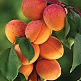 Thompson & Morgan Hardy Apricot Fruit Tree 'Aprigold, Dwarf Variety Bare Root Plant, Frost Resistant Self-Fertile, High Yielding Ideal for Smaller Gardens, Allotments, Patio and Containers