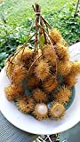 RARE Yellow Rambutan Nephelium Lappaceum Plant Tree Seedling FROM HAWAII 8-12""
