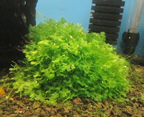 Subwassertang -Pellia Moss Rare Aquatic Moss Live Aquarium Freshwater Plants