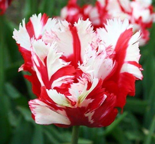 SILKSART 10 Tulip Bulbs Perennial Bulbs for Garden Planting Beauty Flower-SHIPPING NOW!!!