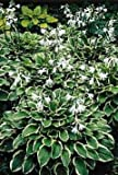 So Sweet Hosta - Hosta of the Year 1996 - One Quart Pot
