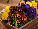 Seeds Viola Tricolor Mix Flower Perennial Outdoor Garden Cut Organic Ukraine