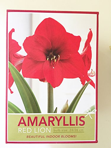 RED LION AMARYLLIS 24/26cm 1 bulb, pot & soil kit (Red Amaryllis Lion)