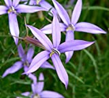 Isotoma Axillaris ~ Laurentia Blue Star Creeper ~ Pink Star Flower ~ 30 Seeds ~
