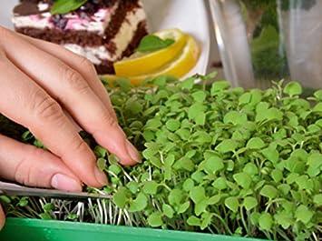 """Microgreens - albahaca limón """"Mrs Burns"""" - hojas jóvenes con un sabor excepcional"""