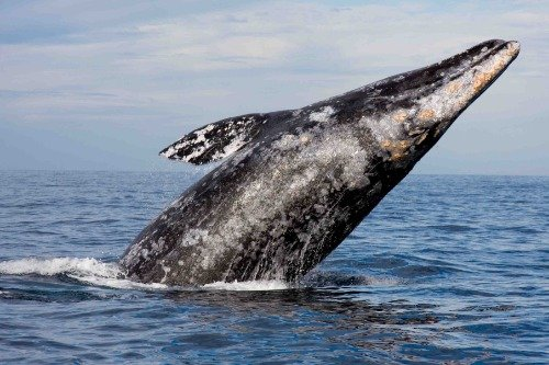 ConversationPrints GRAY WHALE GLOSSY POSTER PICTURE PHOTO BA