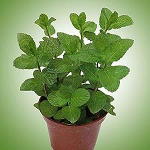 BigFamily Pack Semillas de menta Bonsai Plantas en maceta Hierba Verde Menta Mentha Viridis para jardín