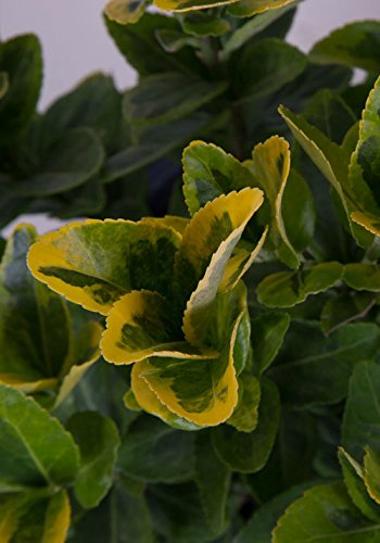 - 2.5 Qt - Golden Euonymus - Green and yellow variegated foliage