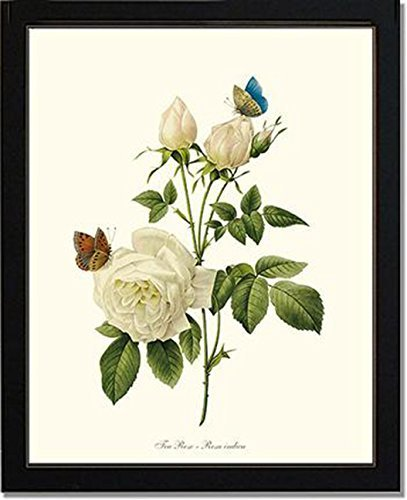 White Rose Redoute Vintage Botanical Art Poster 24x36