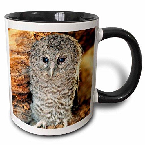 - 3dRose Kike Calvo Animals - Tawny Owl, Strix aluco One month young owl Aragon Spain - 11oz Two-Tone Black Mug (mug_9903_4)
