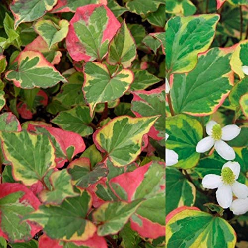 2 x Houttuynia Cordata Chameleon Harlequin Plant Marginal Pond Plant Plants in 9cm Pots