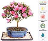 Brussel's Live Satsuki Azalea Outdoor Bonsai Tree - 7 Years Old; 8'' to 10'' Tall with Decorative Container, Humidity Tray & Deco Rock