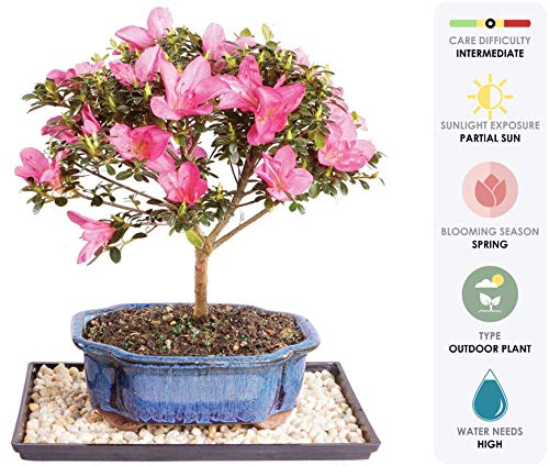 Brussel's Live Satsuki Azalea Outdoor Bonsai Tree - 7 Years Old; 8'' to 10'' Tall with Decorative Container, Humidity Tray & Deco Rock by Brussel's Bonsai (Image #1)