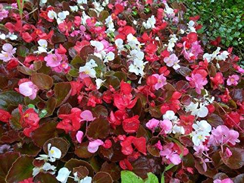 Begonia Fiberous Bronze Leaf Mix Color - 6 Plugs - Live Starter Plants Home Garden