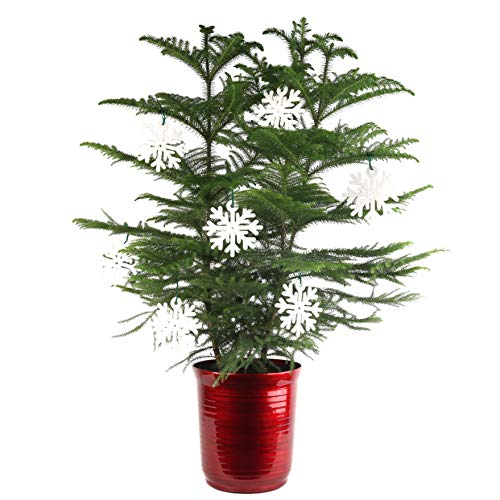 (Costa Farms Live Indoor Christmas Tree, 3-Feet Tall, Ships with Red Planter and White Snowflakes, Fresh From Our Farm, Great as Holiday Gift or Christmas Decoration)
