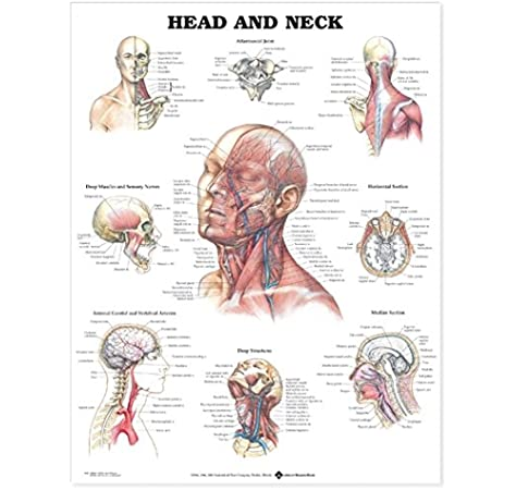 Head and Neck Anatomical Chart: 9781587791482: Medicine & Health Science  Books @ Amazon.comAmazon.com
