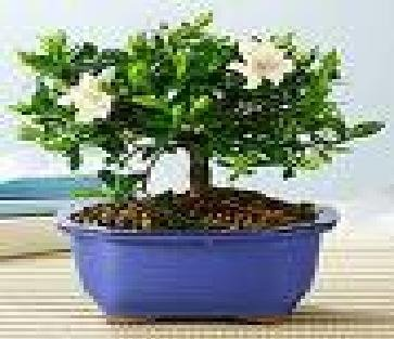 Amazon.com : 2CHIXGIFTS WHITE GARDENiA BONSAI MEDIUM : Live Indoor Bonsai  Plants : Grocery U0026 Gourmet Food