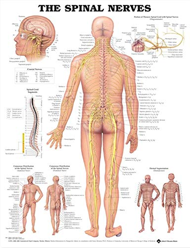 - The Spinal Nerves Anatomical Chart