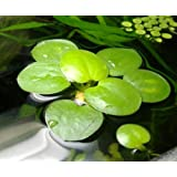 6 X Medium Amazon Frogbit / Limnobium laevigatum / Live Aquarium Floating Plants