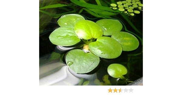 6 Plantas flotantes vivas para acuario, tamaño mediano (Limnobium laevigatum)