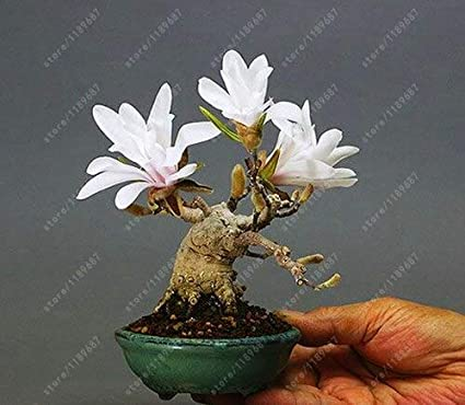 Amazon Com 1 30 Pcs Bag Magnolia Seeds Mini Magnolia Bonsai Beautiful Flower Seeds Indoor Or Ourdoor Potted Plants Diy For Home Garden Garden Outdoor
