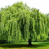 Weeping Willow – (5-6ft) Live Plant, includes special blend fertilizer & planting guide Review