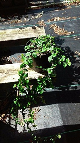 Creeping Fig, self-climbing vine, plant