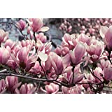 Magnolia George Henry Kern Tree 3ft Supplied in a 3 Litre Pot
