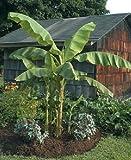 Musa - 'Basjoo' - Banana Tree