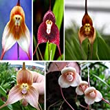ADB Inc 5 Type 200 Seeds Potted Peru Monkey Face Orchid Seeds (00 Mix)