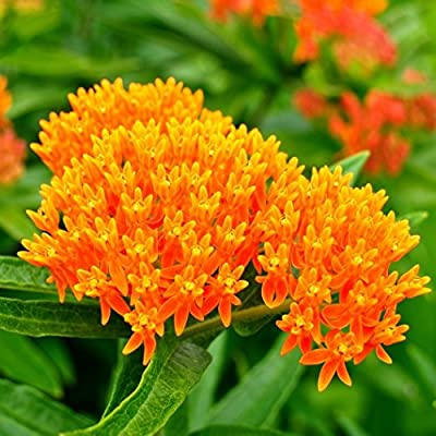 David's Garden Seeds Flower Native American Milkweed Butterfly SL9112 (Multi) 200 Non-GMO, Heirloom Seeds : Garden & Outdoor