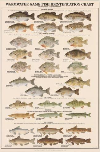 fish chart: Amazon com warmwater game fish poster and identification chart