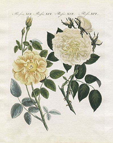 Fine Arts Mission Rose (Yellow Rose Botanical Print)