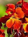 500 Seeds WallFlower of The Walls/cheiranthus - erysimum cheiri/fire King