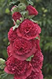 ALCEA rosea 'Chater's Red.(2 Hollyhock Plant - (Red - Double) Great cut flower, Attracts butterflies,hummingbirds PLANT/ROOT