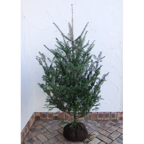 もみの木(モミノキ):ウラジロモミ 樹高1.5m根巻き[クリスマスツリーに!] B073WJQ66P