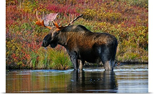 GREATBIGCANVAS Entitled Bull Moose wades in a Small Beaver Pond During Autumn Denali National Park Poster Print, 36