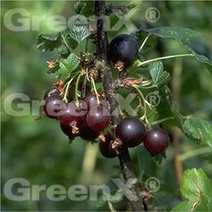 Hochstamm Jostabeere 60-80cm Ribes nidigrolaria